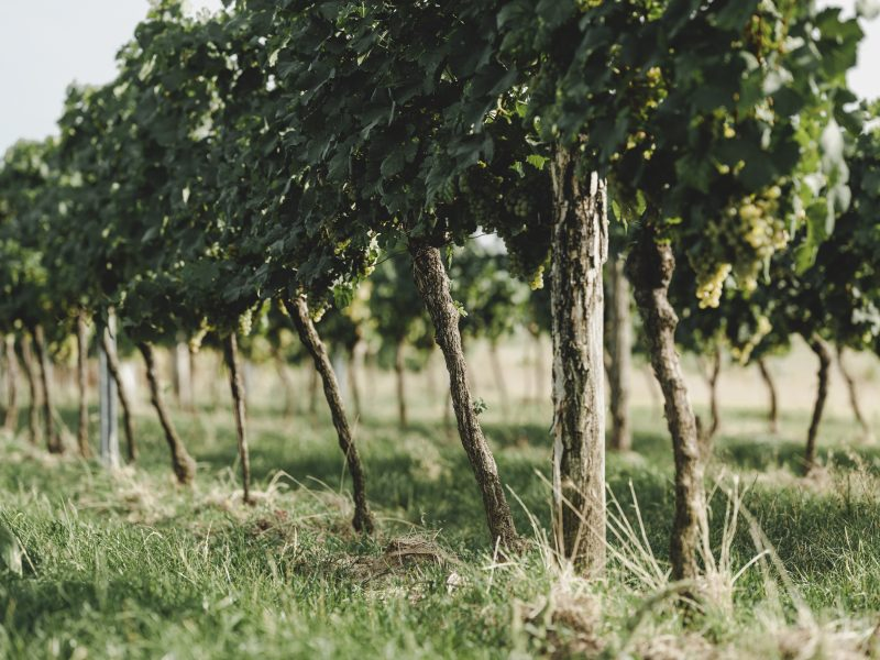 Reben im Weingarten